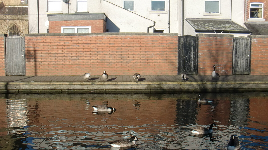 Picture of ducks in Stalybridge